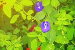 La flor del guisante de mariposa o el guisante azul y la hoja en naturaleza con la copia espacian el ternatea L del Clitoria con  Foto de archivo