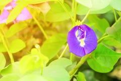 La flor del guisante de mariposa o el guisante azul y la hoja en naturaleza con la copia espacian el ternatea L del Clitoria con  Imágenes de archivo libres de regalías