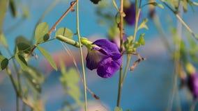 La flor del guisante púrpura con la hoja verde en hacia fuera enfoca el fondo azul almacen de video