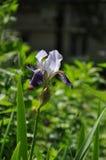 La flor del iris fotografía de archivo