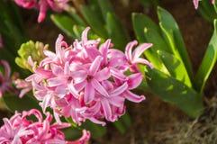 La flor del jacinto está floreciendo en el jardín Imágenes de archivo libres de regalías