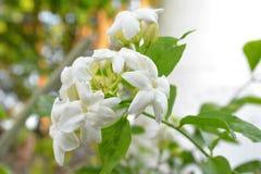 La flor del jazmín Fotografía de archivo