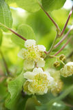 La flor del kiwi Fotografía de archivo libre de regalías