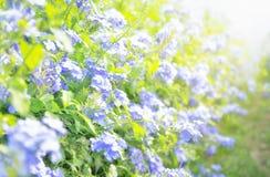 La flor del Leadwort del cabo es muy hermosa por la mañana, científica fotografía de archivo
