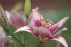 La flor del lirio en el jardín Fotografía de archivo