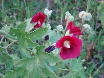 La flor del malva Imagen de archivo