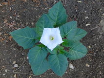La flor del metel de la datura Foto de archivo libre de regalías