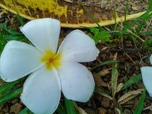 La flor del Plumeria cae abajo en la tierra y la hierba Fotos de archivo libres de regalías