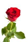 La flor del rojo se levantó Fotos de archivo