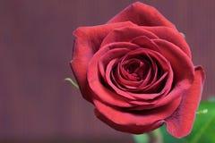 La flor del rojo se levantó Fotografía de archivo libre de regalías