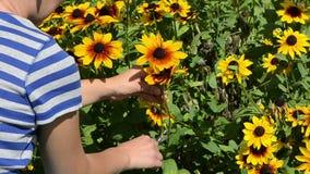 La flor del rudbeckia de la selección del corte de las manos de la mujer scissors el jardín de las podadoras almacen de metraje de vídeo