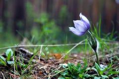 La flor del snowdrop florece en el bosque su animal doméstico de la lila Foto de archivo libre de regalías