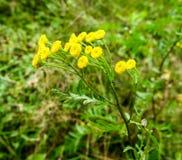 La flor del tansy Fotos de archivo
