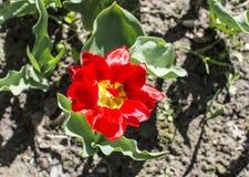 La flor del tulipán Foto de archivo libre de regalías