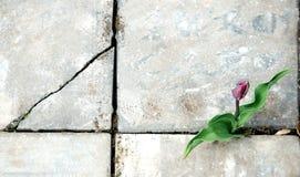 La flor del tulipán crece en una grieta de la acera Imágenes de archivo libres de regalías