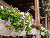 La flor del Vinca adorna en la maceta blanca de la cesta Fotografía de archivo libre de regalías