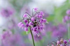 La flor delicada de la cebolla de cabeceo con manosea la abeja Fotos de archivo libres de regalías
