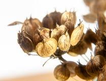 La flor delicada muerta de la margarita para arriba cierra el fondo del blanco del detalle Fotos de archivo