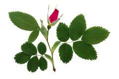 La flor delicada rosada presionada y secada salvaje subió Fotos de archivo libres de regalías