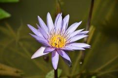 La flor en la charca Foto de archivo