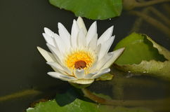 La flor en la charca Imagen de archivo