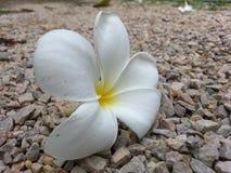 La flor en la grava Fotos de archivo