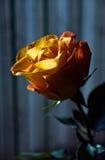 La flor encendida primer se levantó Imagenes de archivo