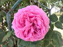 La flor enorme subió Imagen de archivo