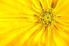 La flor es zinnia amarillo foto de archivo