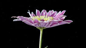 La flor está debajo de agua en estudio negro almacen de metraje de vídeo