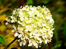 La flor está floreciendo Fotos de archivo libres de regalías