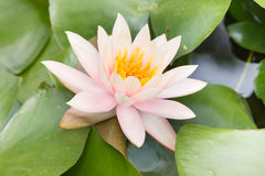 La flor florecida en millón de años de parque de piedra en Pattaya, Tailandia Fotos de archivo libres de regalías