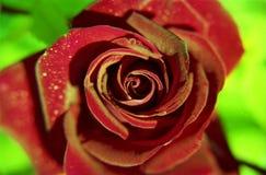 La flor floreciente subi? con las hojas verdes, naturaleza natural de vida, flora inusual del ramo del aroma fotos de archivo