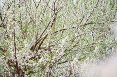 La flor gruesa de la pera imagen de archivo libre de regalías
