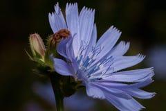 La flor hermosa de la achicoria está creciendo en un prado de la primavera Cierre para arriba imagenes de archivo