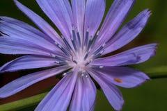 La flor hermosa de la achicoria está floreciendo en un prado verde Imagen de archivo