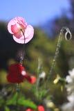 La flor hermosa de la amapola Imagen de archivo libre de regalías