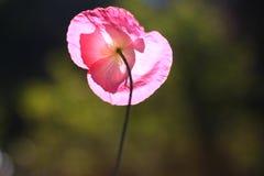La flor hermosa de la amapola Fotografía de archivo