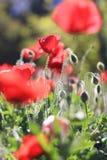 La flor hermosa de la amapola Fotos de archivo