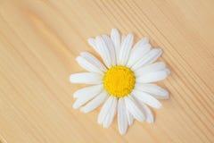 La flor hermosa de la margarita miente en un tablero de madera Imagenes de archivo