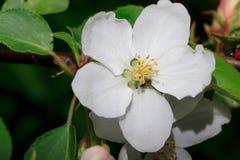 La flor hermosa está floreciendo en un manzano Imagen de archivo