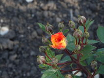 La flor hermosa subió en el jardín Imágenes de archivo libres de regalías