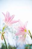 La flor Hippeastrum parece un blanco del lirio con las rayas rosadas pl Foto de archivo