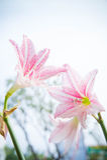 La flor Hippeastrum parece un blanco del lirio con las rayas rosadas pl Fotografía de archivo libre de regalías
