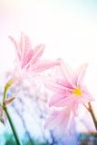 La flor Hippeastrum parece un blanco del lirio con las rayas rosadas pl Imagen de archivo libre de regalías