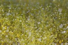 la flor más forrest de la estrella Fotos de archivo