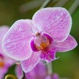 La flor macra hermosa se levantó Imagenes de archivo