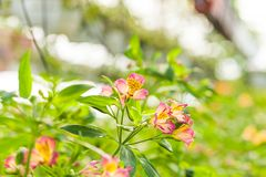 La flor maravillosa del alstroemeria fotografía de archivo