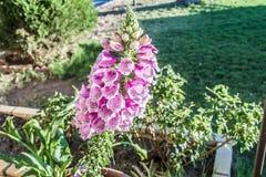 La flor púrpura de la lavanda en nuevo Mexicothat se coloca solamente foto de archivo libre de regalías