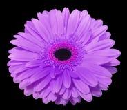 La flor púrpura del gerbera, ennegrece el fondo aislado con la trayectoria de recortes primer , foto de archivo libre de regalías